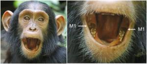 El bebé chimpancé Azania mostrando la aparición de los dos primeros molares inferiores (M1) con 3,1 años de edad. Imagen: Andrew Bernand.