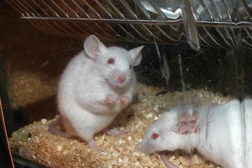 Los ratones deficientes en Polμ presentan una mayor capacidad de aprendizaje asociativo a edades avanzadas, así como una mayor potenciación de los circuitos neuronales corticales.