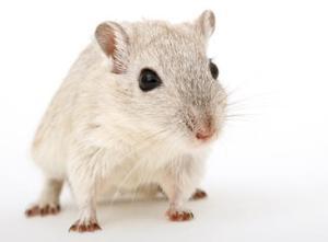 Los investigadores consiguieron aislar y desactivar, en ratones, las neuronas en las que se expresa la proteína TRPM8. / Lockstockb
