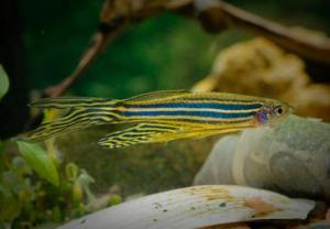 Los científicos han estudiado al pez cebra porque su cuerpo es transparente mientras es una larva. / Fro_Ost