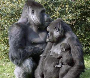 Familia de gorilas. / Erik Jager