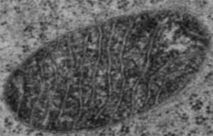 El método ideado por los químicos del MIT permite identificar qué proteínas están presentes en diferentes compartimientos de las mitocondrias. (Imagen: Jeff Martell, Hyun-Woo Rhee y Peng Zou)