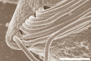 Primerísimo plano de Cthulhu macrofasciculumque. (Foto: UBC)