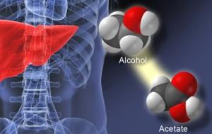 Cuando una persona toma una bebida alcohólica, el hígado convierte el alcohol en acetato. (Imagen Yale U.)