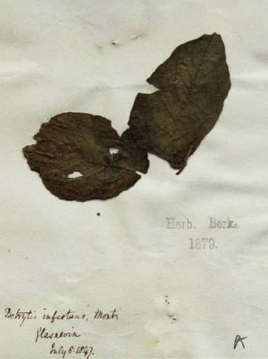Una muestra de planta de patata custodiada en el herbario del Real Jardín Botánico de Kew, que fue recolectada en 1847, durante la fase más álgida de la Gran Hambruna Irlandesa de la Patata. (Foto: Marco Thines / Museo Senckenberg de Ciencias Naturales)