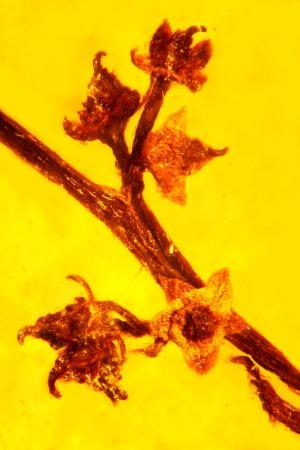 Esta flor, conservada en ámbar de 100 millones de años de antigüedad, es una de las más completas que se han encontrado. (Foto: Cortesía de la Universidad Estatal de Oregón)