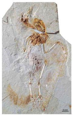 Un nuevo espécimen de ave fósil hallado en condiciones excepcionales de preservación ha permitido a un equipo internacional explicar de qué manera probablemente volaron las primeras aves.