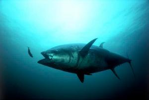 Un ejemplar de atún rojo del Atlántico puede alcanzar los 450 kilogramos de peso./ Gilbert Van Ryckeborsel