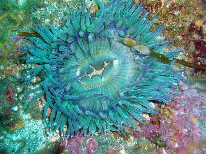 Una anémona de mar. (Foto: Claire Fackler, CINMS, NOAA)
