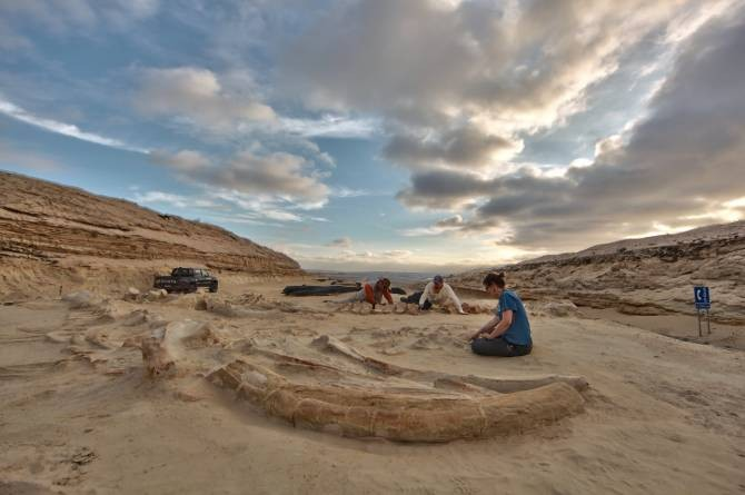 Paleontólogos chilenos y del Instituto Smithsoniano estudiando varios fósiles de los esqueletos de ballenas en el Cerro Ballena, junto a la carretera panamericana en la región de Atacama en Chile. (Foto: Adam Metallo, Instituto Smithsoniano)