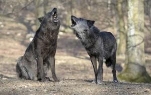 Los lobos son considerablemente mejores que los perros para aprender cosas viéndoselas hacer a congéneres. (Foto: Walter Vorbeck)