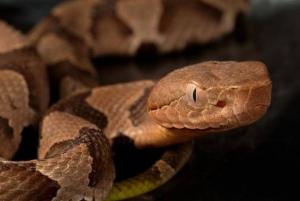 Ejemplar joven de serpiente venenosa de la especie Agkistrodon contortrix. (Foto: James Gathany / CDC)