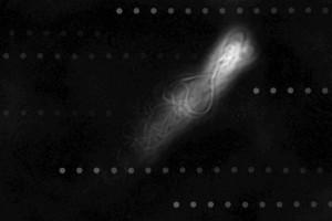 Fotografías superpuestas de un espermatozoide humano nadando corriente arriba a lo largo de la pared de un canal microfluídico. Las partículas esféricas indican la orientación del flujo. (Imagen: Vasily Kantsler)