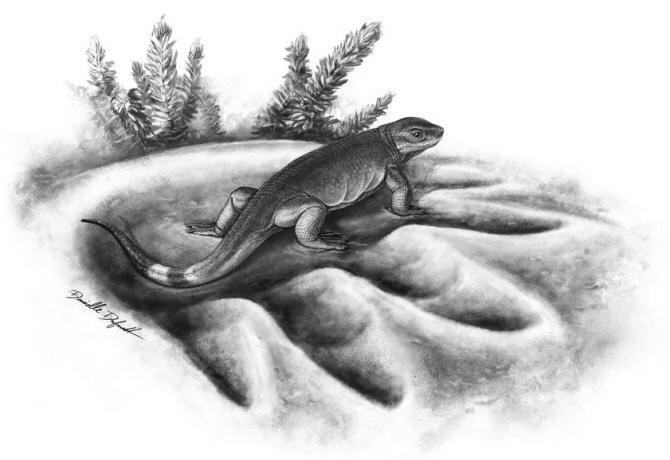 Recreación artística que muestra a un ejemplar de la especie carnívora Eocasea, de hace 300 millones de años, en la huella del mayor herbívoro de hace 270 millones de años, el Cotylorhynchus. (Ilustración: Danielle Dufault)