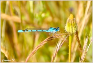 El cambio climático modifica la distribución geográfica de las mariposas y libélulas europeas. Un estudio publicado en el último número de la revista Nature Comucations ha demostrado que las coloraciones oscuras y claras de estos animales están asociadas con climas fríos y cálidos, respectivamente.
